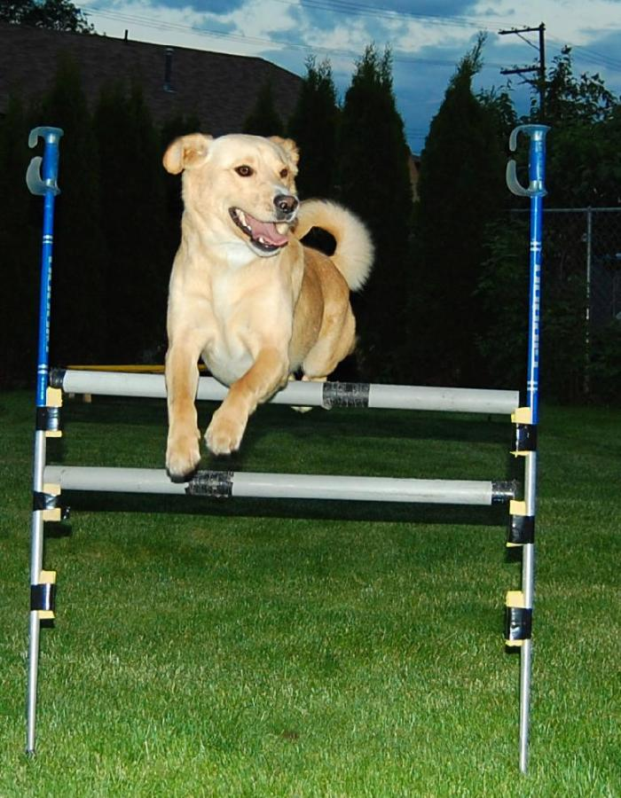 Juno practicing Agility Jumps