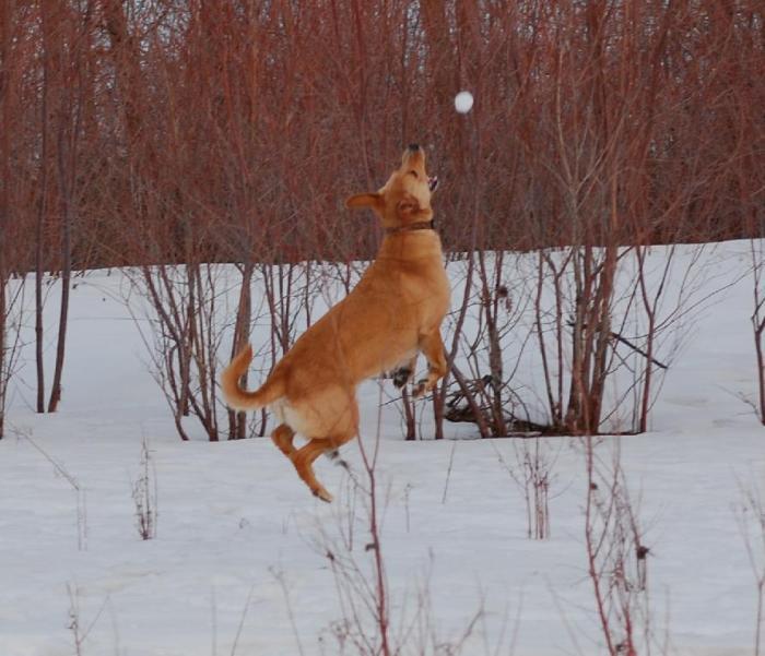 Juno jumping for snowballs