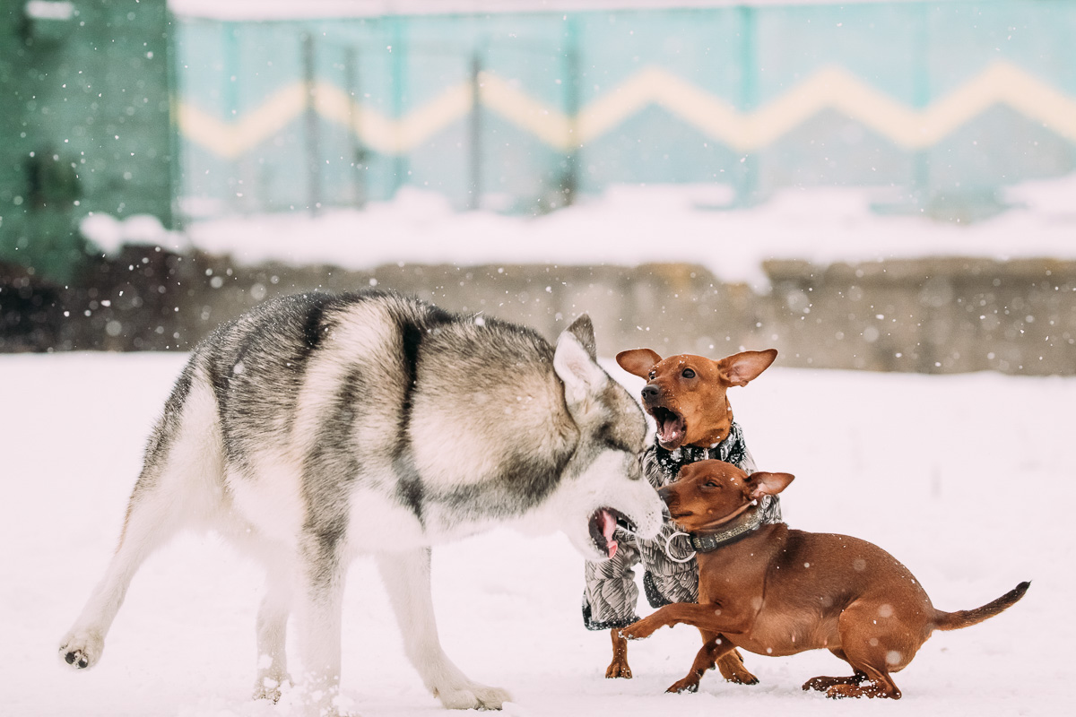 husky and dachsunds playing in the snow. A blog about animal abuse and neglect.
